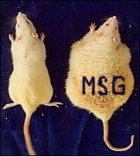 MSG feed rats